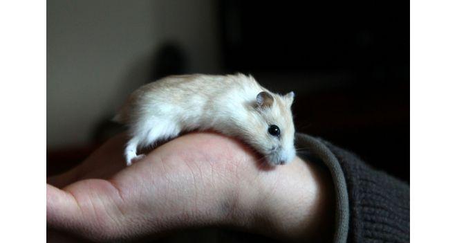 Apie žiurkėnus