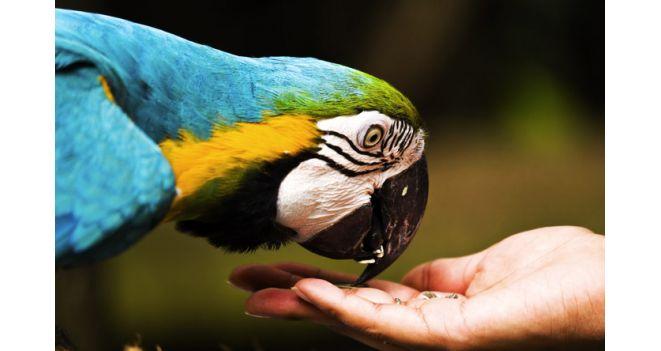 Dekoratyvinių paukščių kūno kalba