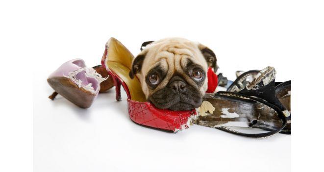 Kodėl šunys graužia daiktus?