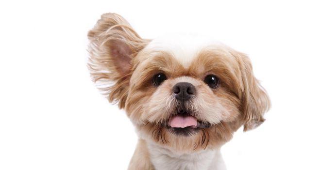 Kaip prižiūrėti šuns ausis?