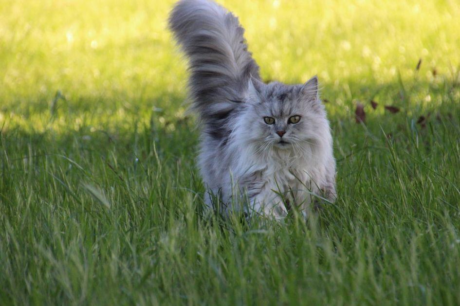 3 pagrindinės ilgaplaukių kačių problemos. Kaip jas išspręsti?