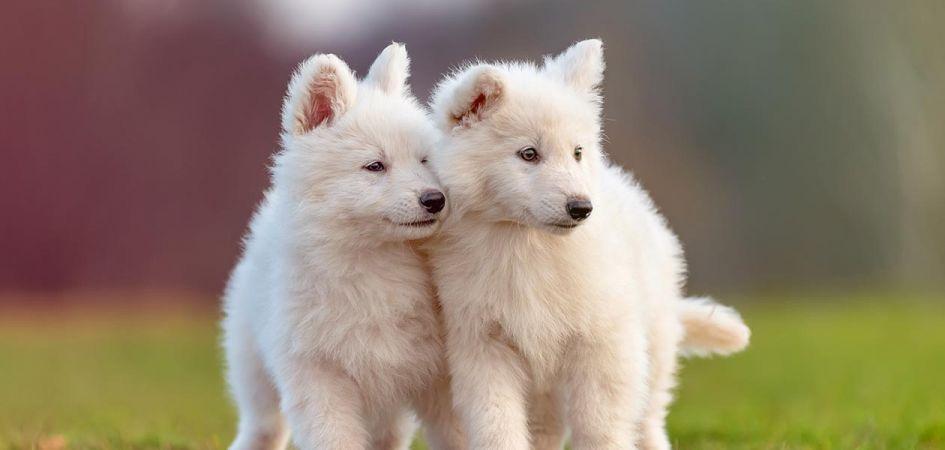 Gardi naujiena baltiems šunis – pašaras su lašiša!