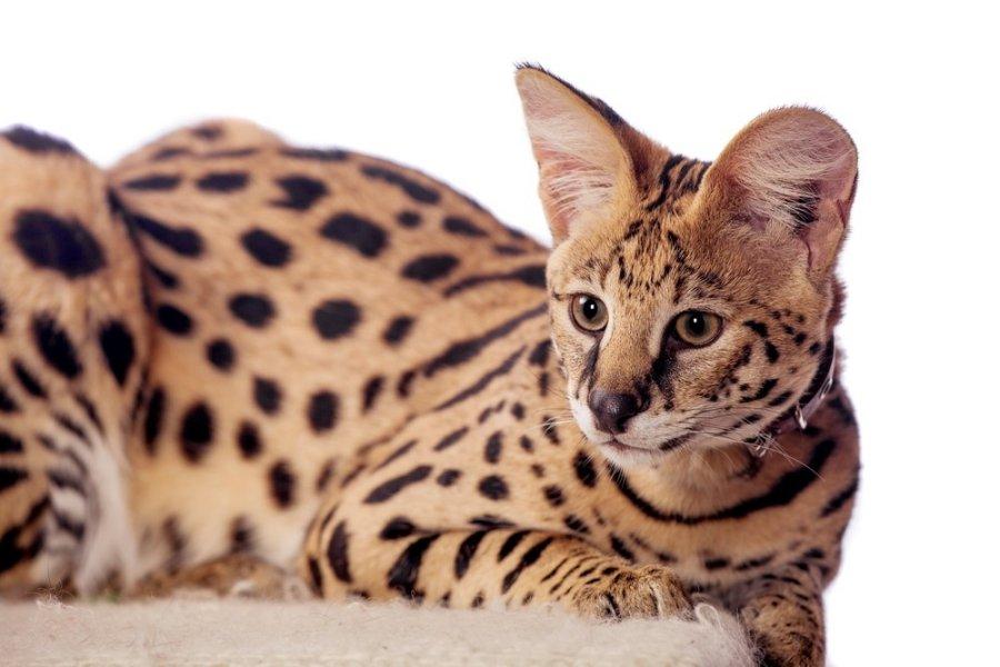 Ypatinga didelių veislių kačių priežiūra