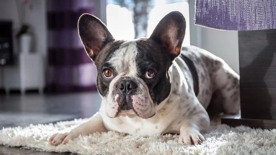 Ar saugu leisti šuniukams šokinėti nuo lovos?