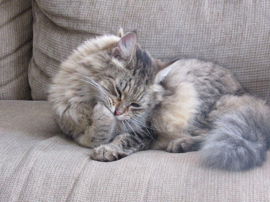 Jeigu katė pati išsilaižo, ar reikia ją šukuoti?
