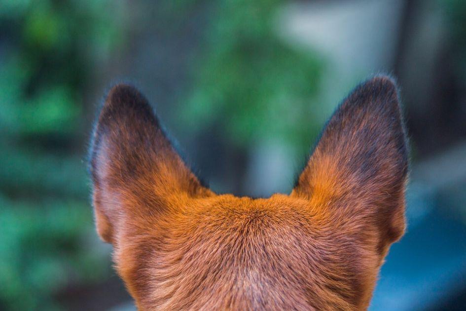 Šuns higiena: kaip prižiūrėti ausis, akis, nagus, kailį?